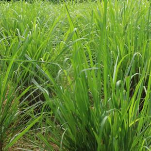 lemon grass wordt veel gebruikt voor lokale gerechten en verse thee