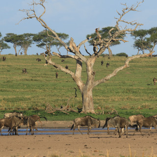 grote groepen gnoes lopen over de vlaktes van Serengeti