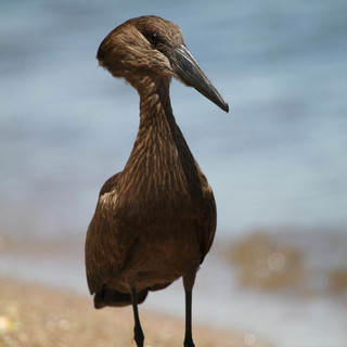 De omgeving van Lake Victoria is een vogelparadijs