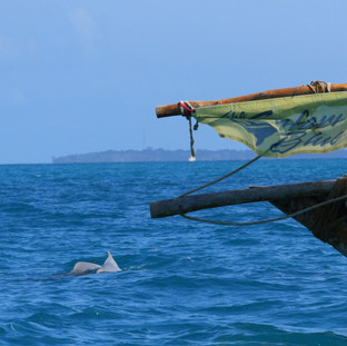 Dolphins in front of the Safari Blue boat.