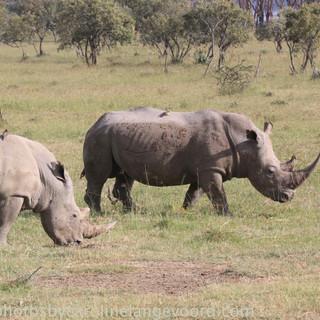 rhinos in Nakuru NP