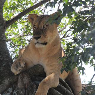 A tree climbing lion in Nakuru