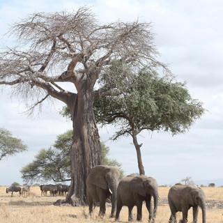olifanten voor een baobab boom lopen door Tarangire NP
