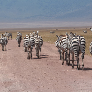 Many zebras at Ngorogoro