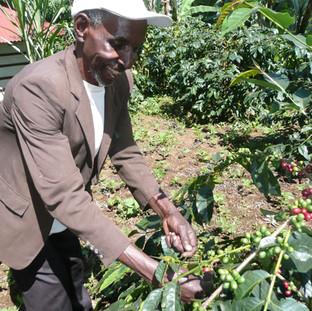 een lokale man plukt de besjes van de koffieplant