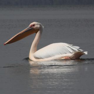Vaak zie je pelikanen op het meer