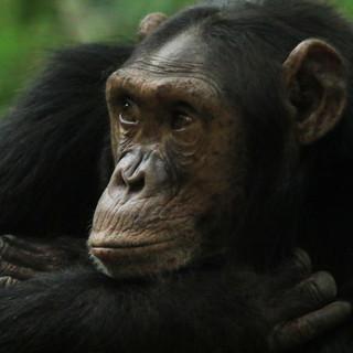 Chimpansees in Ol Pejeta