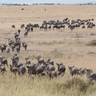 The migration in Serengeti