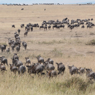 migratie van gnoes in Serengeti NP