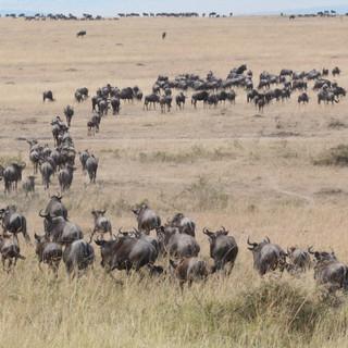 De migratie van grote groepen gnoes en zebras in de Serengeti