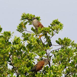 twee koekkoeken zitten in een boom op Zanzibar