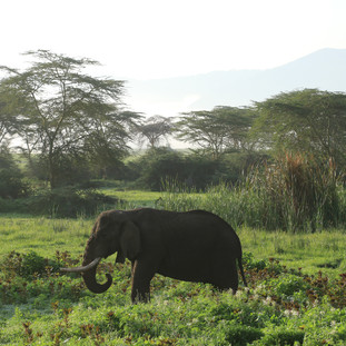 Male elephant at Ngorongoro