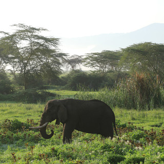 A male elephant at Ngorongoro