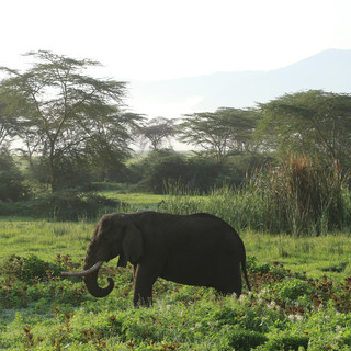 A male elephant at Ngorongoro