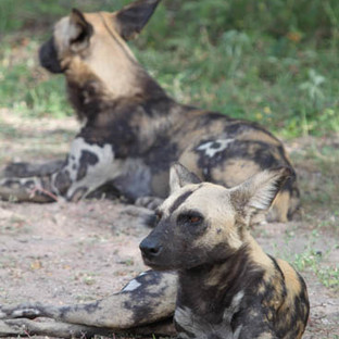 Wild dogs in Selous NP