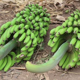 grote trossen bananen in Mto wa Mbu