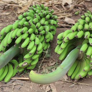 Many bananas in Mt