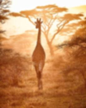 Giraffe at sunset Serengeti