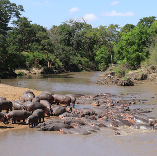 Big herd of hippos at Grumeti river at Serengeti