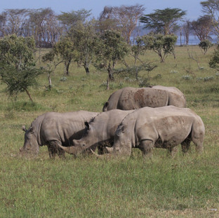 Nakuru is famous for its black and white rhinos
