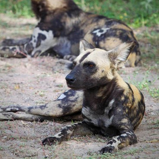 Good chance of seeing wild dogs in Ruaha NP