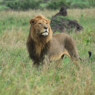 Beautiful male lion, one of the Big Five, in Ruaha