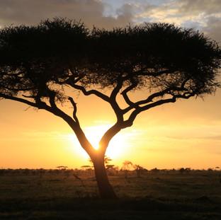 beroemde zonsopkomst in Serengeti met een acaciaboom