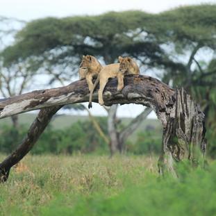 leeuwen rusten op een boom in Serengeti nationaal park