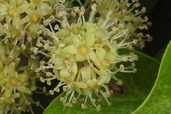 Ivy in flower