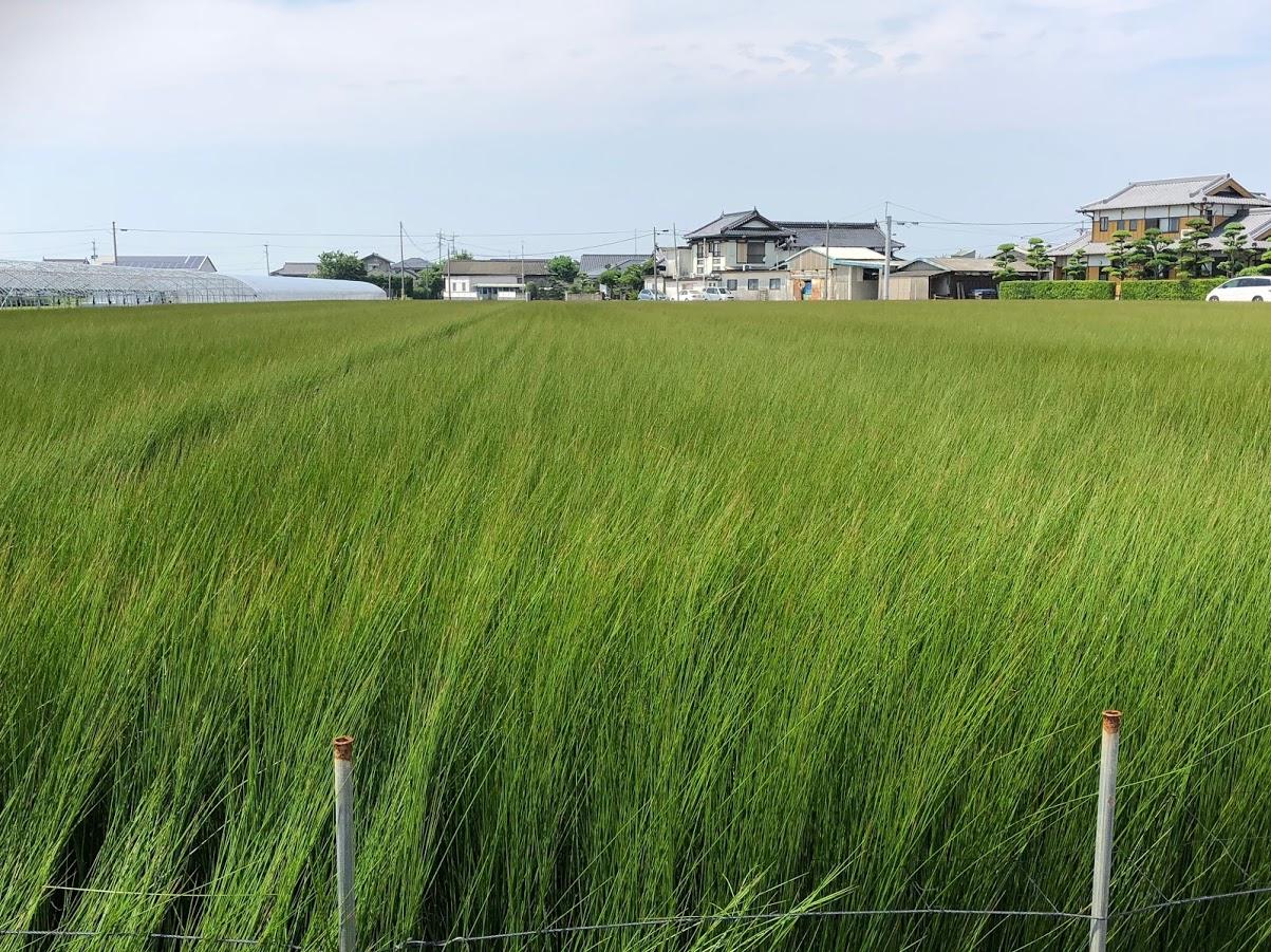 畳 たたみ い草