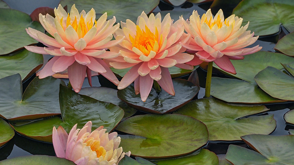 water_lily_flowers_on_body_of_water_hd_f