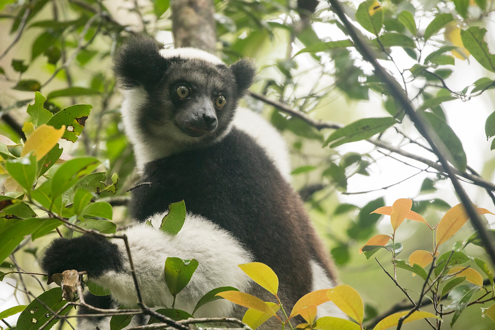 An arboreal Indri lemur peers at our group from the treetops