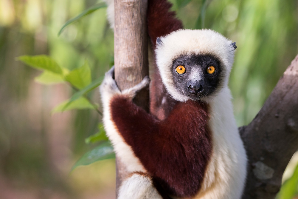 a coquerel's sifaka gazes at us from his treetop home