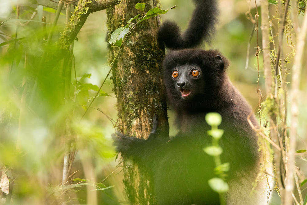 A Milne-Edwards sifaka takes a momentary pause from leaping through the branches