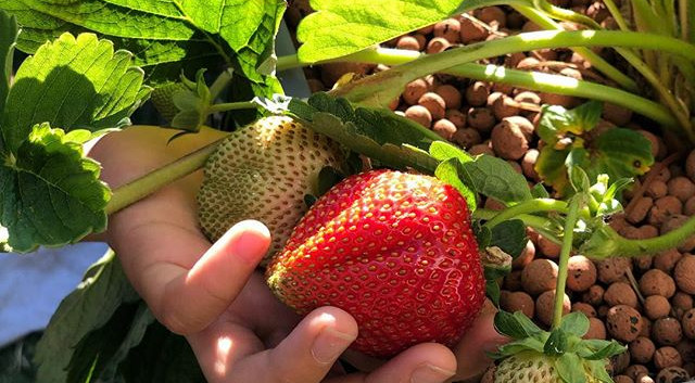 Growing Strawberries 🍓 at home using th