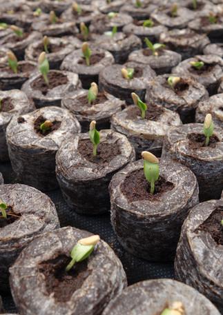seedlings-in-jiffy.jpg
