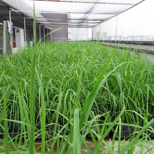 IRIS-Autopot® Rice Paddy
