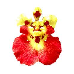 buy tolumnia orchid plants online