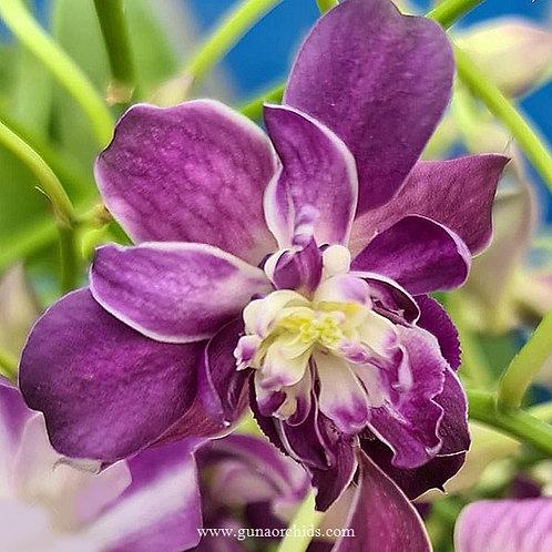 Dendrobium Rose Betty Blue BS