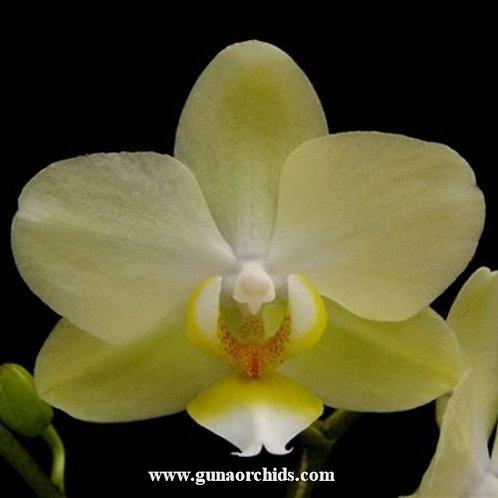 Phalaenopsis Green Pixie BS