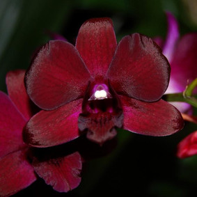 How to Grow: Dendrobium Orchid Care