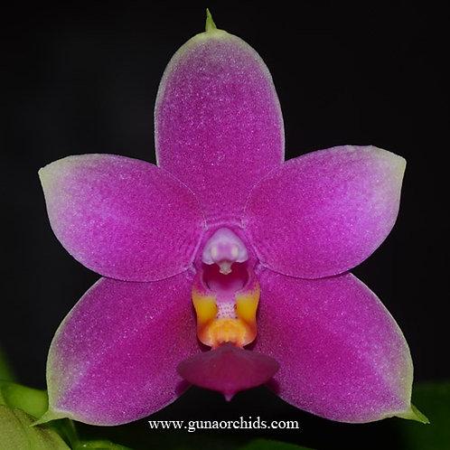 Phalaenopsis Vio Vio BS