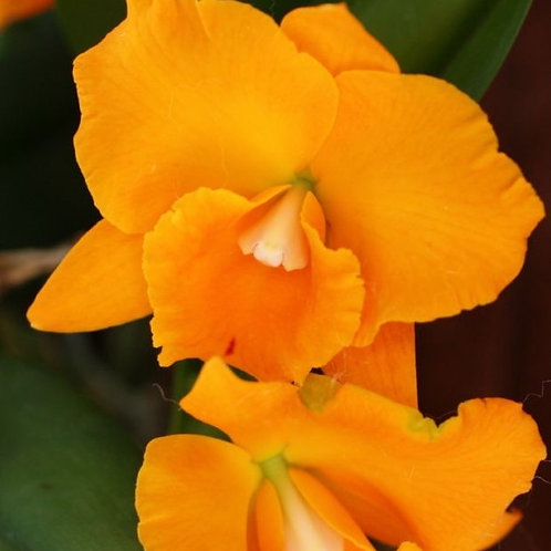 Orange Bliss SS