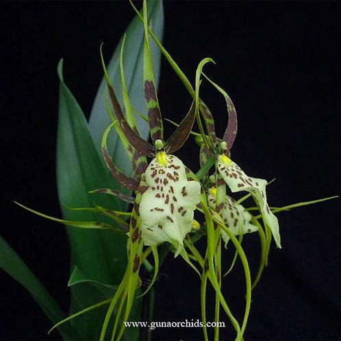 Oncidium Brassia Green BS