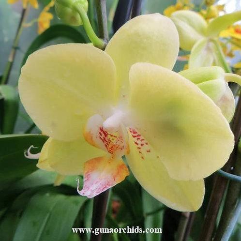 Phalaenopsis Sogo Plum BS