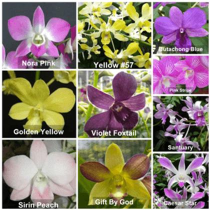 Dendrobium Seedlings Combo