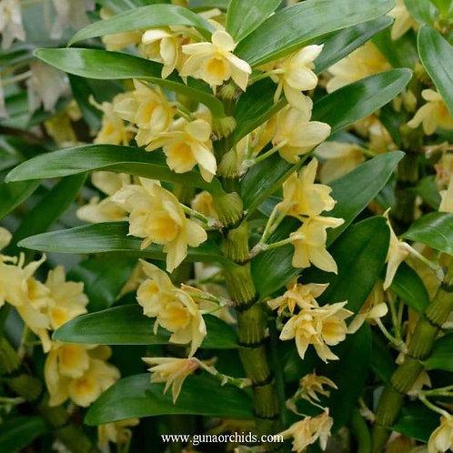 Dendrobium Nobile Watarun Yellow BS