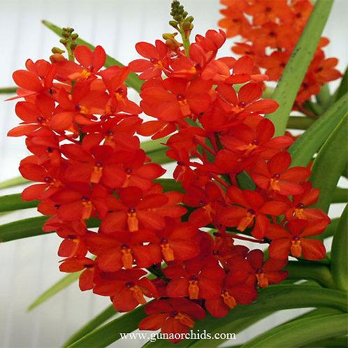 Ascocentrum Curvifolium Red BS