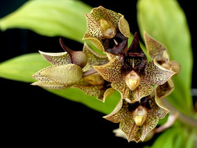 How to Grow: Catasetum Orchid care