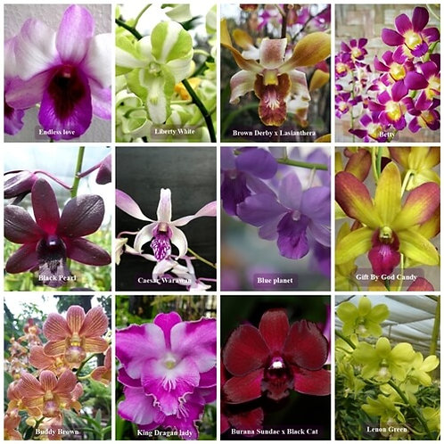 Dendrobium NBS 25 Pack Combo